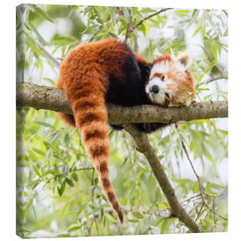 Lienzo  Red Panda resting in a tree
