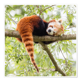 Póster  Red Panda resting in a tree
