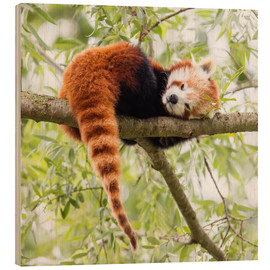 Madera  Red Panda resting in a tree