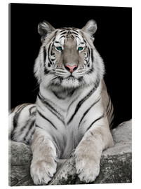 Handsome tiger with color accents