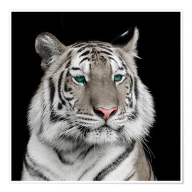 Póster  Sumatran tiger with turquoise eyes