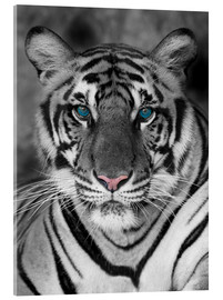 Cuadro de metacrilato  Tiger portrait with color accents