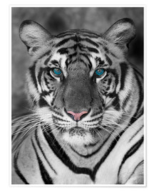 Póster  Tiger portrait with color accents