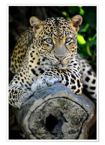 Póster African Leopard