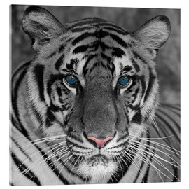 Tiger with color accents