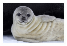 Póster  Weddell seal pup