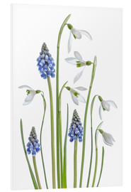Cuadro de PVC  Snowdrops and Muscari - Mandy Disher