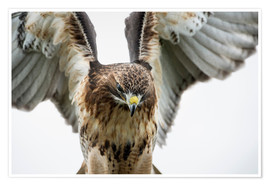 Póster  Red-tailed hawk (Buteo jamaicensis), bird of prey, England, United Kingdom, Europe - Janette Hill