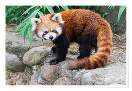 Póster  Red Panda (Ailurus fulgens), Sichuan Province, China, Asia - G & M Therin-Weise