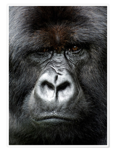 Póster Silverback gorilla looking intensely, in the Volcanoes National Park, Rwanda, Africa