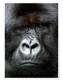 Póster  Silverback gorilla looking intensely, in the Volcanoes National Park, Rwanda, Africa - Matt Frost