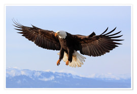 Póster Bald eagle, Alaska, United States of America, North America