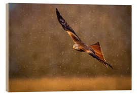 Cuadro de madera  Red kite (Milvus milvus) in flight during a snow shower, Rhayader, Wales, United Kingdom, Europe - Andrew Sproule