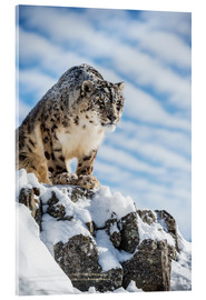 Cuadro de metacrilato  Snow leopard (Panthera india) - Janette Hill