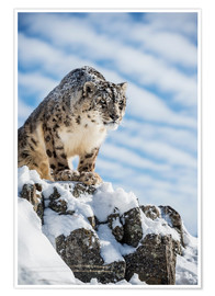 Póster  Snow leopard (Panthera india) - Janette Hill
