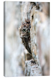 Lienzo  Little owl (Athene noctua) perched in stone barn, captive, United Kingdom, Europe - Ann & Steve Toon