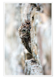 Póster  Little owl (Athene noctua) perched in stone barn, captive, United Kingdom, Europe - Ann & Steve Toon