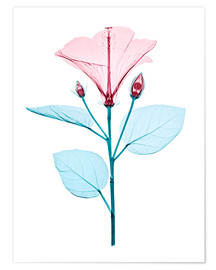 Póster  Chinese hibiscus flower, X-ray - Brendan Fitzpatrick