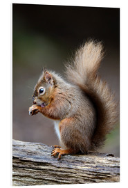 Cuadro de PVC  Red squirrel grooming - Colin Varndell