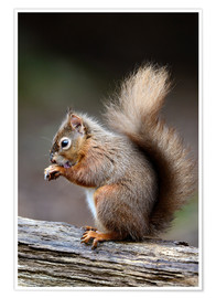 Póster  Red squirrel grooming - Colin Varndell