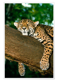 Póster  Jaguar resting in a tree - William Ervin