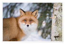 Póster Red fox in the snow
