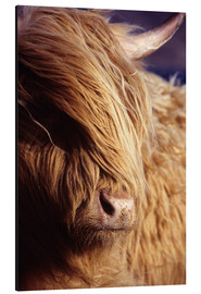 Aluminio-Dibond  Scottish highlander - Louise Murray