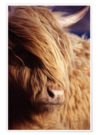 Póster Scottish highlander
