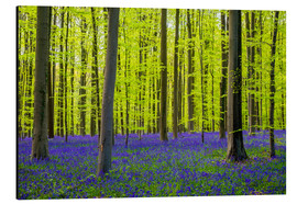Cuadro de aluminio  Bluebell flowers (Hyacinthoides non-scripta) carpet hardwood beech forest in early spring, Halle, Vl - Jason Langley
