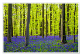 Póster Bluebell flowers (Hyacinthoides non-scripta) carpet hardwood beech forest in early spring, Halle, Vl