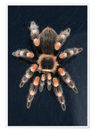 Póster  Mexican Red Knee Tarantula (Brachypelma Smithi), captive, Mexico, North America - Janette Hill