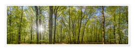 Póster Beech forst in spring time panorama