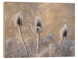 Madera  Hoar frost on a teasel in wintertime - Katho Menden