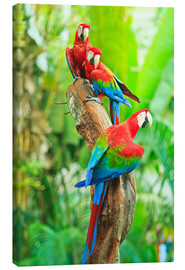 Lienzo  Group of dark red macaws