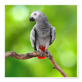 Póster  African Grey Parrot