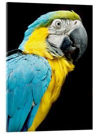 Cuadro de metacrilato  beautiful Blue and yellow macaw