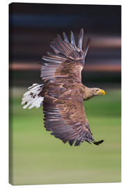 Lienzo  Flying white-tailed eagle - Frank Fischbach