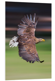 Cuadro de PVC  Flying white-tailed eagle - Frank Fischbach
