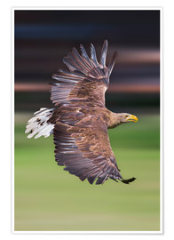 Póster  Flying white-tailed eagle - Frank Fischbach