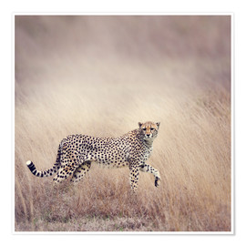 Póster  Cheetah on the hunt