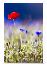 Póster Blooming poppies and lentils