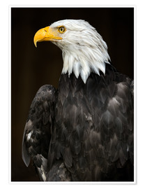 Póster Bald Eagle Portrait