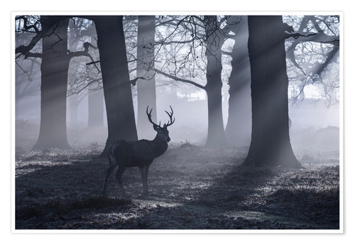 Póster A male red deer stag waits in the early morning mists of Richmond park, London.