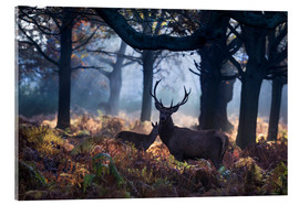 Cuadro de metacrilato  A red deer stag in a misty forest in Richmond park, London. - Alex Saberi