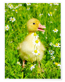 Póster  Duckling on flowery meadow