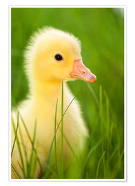 Póster Duckling