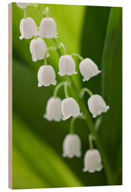 Madera  Lily of the Valley