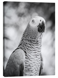 Lienzo  African grey Parrot in gray