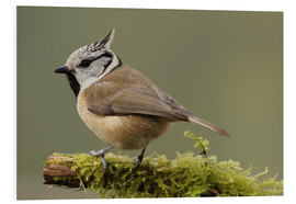 Forex  Crested Tit in Moos - Uwe Fuchs