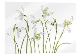 Cuadro de metacrilato  Snowdrops flore pleno - Mandy Disher